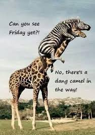 Hump Day Camel Meme - hump day wednesday quote funny 5 picture quotes funny pinterest