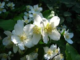 deer resistant native plants philadelphus coronarius sweet mock orange english dogwood