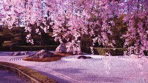 blossoms spring pink tree blossom cherry morning garden winter