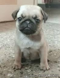 boxer dog quikr pug puppies for sale find a joyful bud in dogs in bandra west