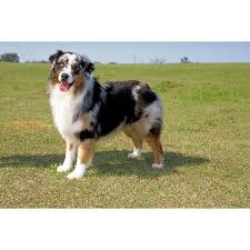 double r australian shepherds australian shepherd dog breeds dog com
