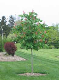 Trees Plants And Flowers - red horse chestnut tree must plant for conkers fashion