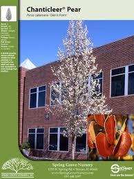 grove nursery pyrus ornamental pear chanticleer pear