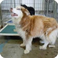 australian shepherd husky mix for sale katie adopted dog tipton ia husky australian shepherd mix