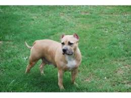 american pitbull terrier kingfish bloodline american pit bull terrier puppies for sale