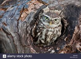 owl in tree hollow stock photo royalty free image