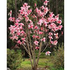 best magnolia tree for small garden cori u0026matt garden
