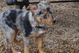 australian shepherd cattle dog canined 2 month old puppy australian shepherd australian u2026 flickr