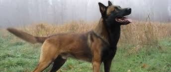 belgian sheepdog breeders usa looking to own a belgian malinois page 1