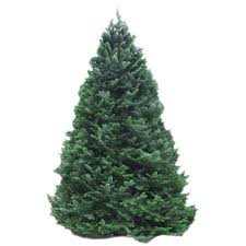balsam tree balsam fir trees trees products