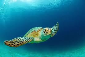 the 7 species of sea turtles