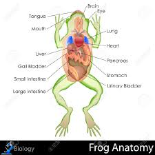 toad clipart frog dissection pencil and in color toad clipart