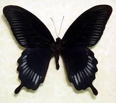 top 26 black butterfly items daxushequ com