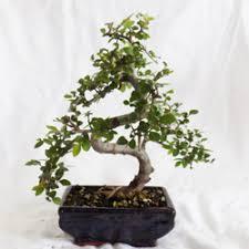 bonsai from tiny trees tiny trees