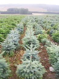 blue spruce and korean fir trees needlefresh uk