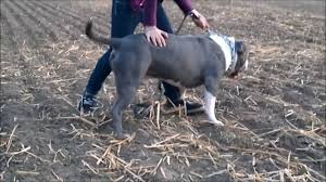 american pit bull terrier zucht american bully bullie father gomez grizzly bear germany extreme