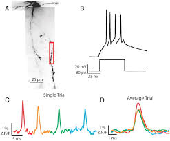 What Is Interneuron Active Action Potential Propagation But Not Initiation In Thalamic