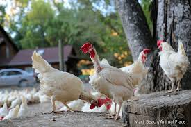 thinking about chickens adopting them is more humane than raising