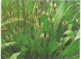 cuisiner le plantain le plantain une herbe pas si mauvaise cuisiner les plantes