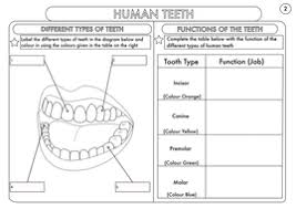year 4 science animals including humans digestion teeth and