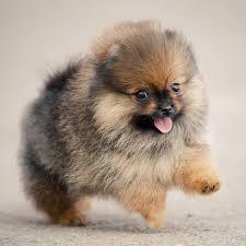 bichon frise vs yorkie the most popular miniature dog breeds
