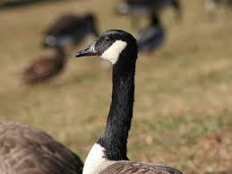 Barnes And Noble Bridgewater Nj Do Not Feed The Geese U0027 Somerset County Park Rangers Bridgewater