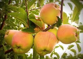 Apple Tree In My Backyard Apple Tree In My Backyard