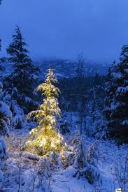 a festive mountain hemlock evergreen tree strung with white lights
