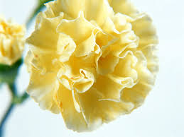 28 yellow carnation flower flower archives page 23 of 24