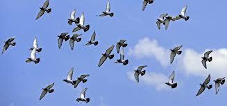 cuisine des pigeons voyageurs les pigeons voyageurs ne retournent pas bêtement d où ils viennent
