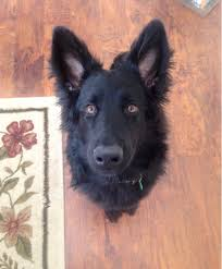 belgian sheepdog black i posted a picture of our black german shepherd about 6 months ago