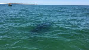 more great white shark sightings off nauset beach necn
