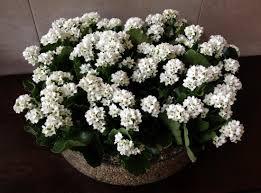 2200x1630 wallpaper kalanchoe flowers white indoor plant pots