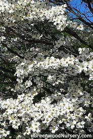 white flowering dogwood white flowering dogwood trees flowering trees