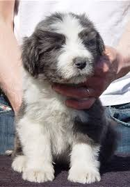 bearded collie adoption bearded collie puppy bearded collie pinterest bearded collie