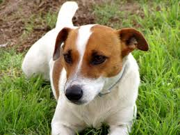 bluetick coonhound jack russell mix types of dogs that get along with jack russel terriers cuteness