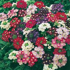 verbena flower verbena compact mixed seeds from mr fothergill s seeds and plants