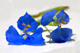 edible blue flowers free stock photos rgbstock free stock images tiny blue