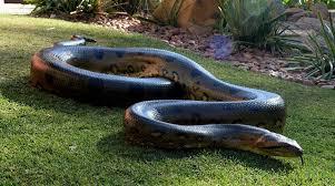 film ular phyton atau anaconda mengenal jenis ular yang menelan petani sawit