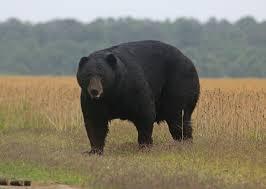 target black friday 2017 bear trophy north carolina black bear hunting with north america u0027s most