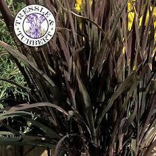oryza ornamental rice black madras grass 15 seeds