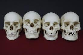 prop skeletons skull replicas bones for productions