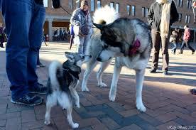 australian shepherd vs husky alaskan klee kai full grown vs husky google search cute cool