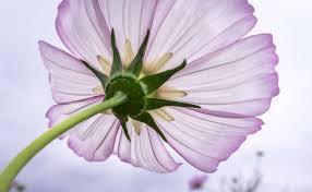 autumn beautiful blossom bright cosmos flower gardens flower