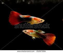 platinum guppy fish freshwater aquarium stock photo 652859191