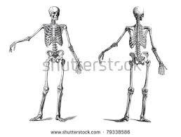 human skeleton stock images royalty free images u0026 vectors