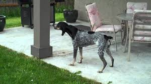 is a bluetick coonhound a good pet bluetick coonhound baying at a fake bear i made youtube