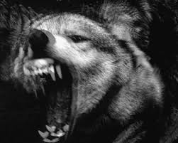 black and white wolf gif find on giphy