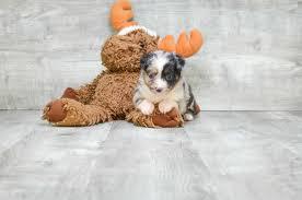 australian shepherd 12 weeks weight mini aussie puppies for sale athena f www premierpups com in