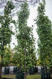 our favourite fastigiates kilby park tree farm
